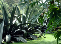 Maguey agave growing near Xochimilco today