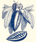 Cocoa pod, leaves and flower - pod cut open showing seeds