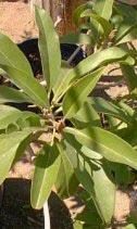 5. Sapodilla leaves