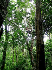 23. Chiclero Juan Bautista May Tuyup truly 'up a gum tree'