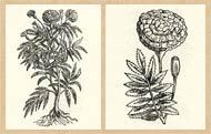 Pic 4: Drawings of cempoalxóchitl, from vol. 2 of Hernández' 'Historia de las plantas...'