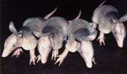 Pic 7: Four nine-banded armadillo pups, genetically identical