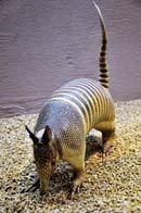 Pic 9: A stuffed 9-banded armadillo on display, National Museum of Anthropology, Mexico City