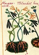 Pic 4: 'Mecaxóchitl' and 'tlilxóchitl' (vanilla), Badianus Manuscript, fol. 104 (detail)