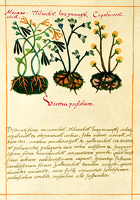 Pic 2: 'Tlilxóchitl' (Vanilla) [L/H side] and other edible plants, Codex Badianus, plate 104