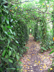 Pic 4: Pathway to vanilla... the Vallejo family vanilla plantation, Taracuán, Papantla, Veracruz, Mexico