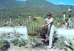 Pic 10: Impressive specimen in 'Barrel Cactus Valley', Tehuixtla, central Mexico