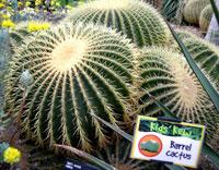 Pic 13: Barrel cactus, Kew Gardens