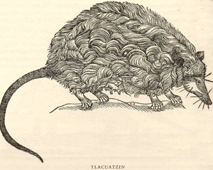 The tail of the opossum (never previously seen in Europe) was used by the Aztecs as an 'oxytocic' to induce birth; from Hernández's 'Historia de los animales de la Nueva España', ch. 5 p. 298.