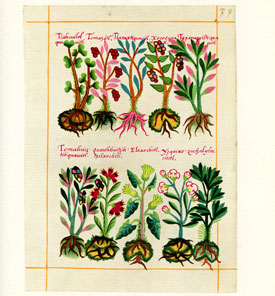 Plate 69 from the Badianus Manuscript ('An Aztec Herbal of 1552'), now in the Vatican Library