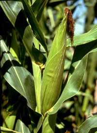 Pic 5: Mexican corn (maize)