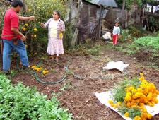 Locals harvesting marigolds (cempoalaxochitl), Veracruz state, Mexico