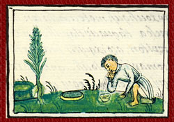 The small herb Haacxoyatic - 'required when one has contracted a high fever; when phlegm destroys the heart...' Florentine Codex, Book XI