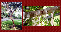 Pic 12: (left) copal tree, (right) sap dripping from copal tree.