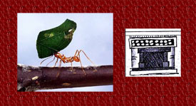 A leaf-cutter ant hard at work; Aztec house glyph