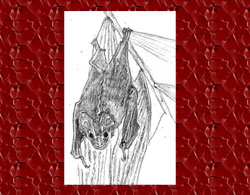 Pic 4: The 'great stripe-faced bat' (Vampyrodes caraccioli), a fig eater and fig tree planter
