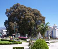 The 'Arbol del Tule' outside Oaxaca City - the stoutest tree in the world!