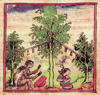 An Aztec musician plays under the 'Tota' tree, Atlas de Durán folio 263v