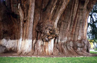 What can YOU see in the Tule Tree?! It's famous for the myriad figures people see in its gigantic trunk...