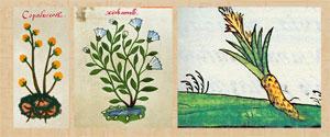 Pic 4: Copalxocotl ('soap-tree') (Left); Xiuhamolli (soap plant) (Middle & Right) - L & M: Badianus Manuscript (pls 104 & 11), R: Florentine Codex Book 11