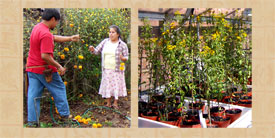 Pic 5: Cempoalxochitl growing in Mexico, yauhtli growing in England...
