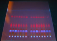 Pic 11: A thin-layer chromatography plate viewed under UV light (a standard analytical method for plant extracts)