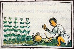 Imágen 4: Uso de hierbas medicinales, Códice Florentino Libro 11