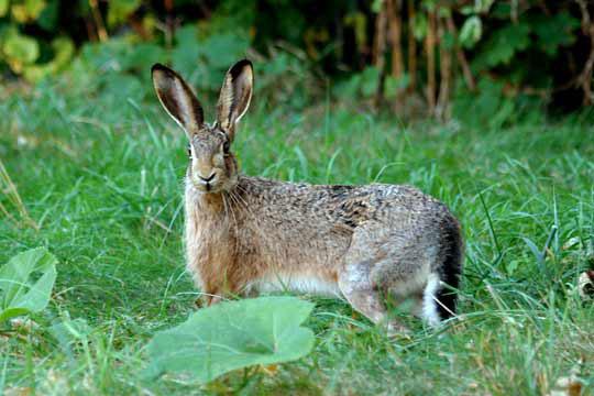 Hare vs jackrabbit - photo#11