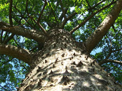 Pic 3: The thorny Ceiba tree, considered by the Maya as the central world tree
