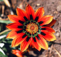 Mexican flower close-up