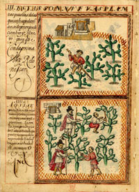 Cochineal Treatise showing production under the Spanish