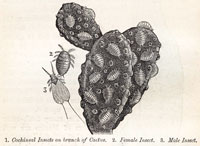 Cochineal, from Appleton's Guide to Mexico by Alfred Conkling, 1895, p.88