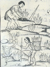 Planting and harvesting the 'maguey' cactus, Florentine Codex Book XI