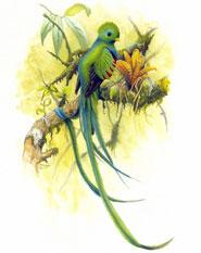 The quetzal bird - illustration by Michael A. DiGorgio