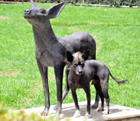 Pic 4: A xoloitzcuintle (in front of a statue!) in the grounds of the Dolores Olmedo Museum, Mexico City