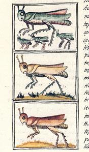 Pic 6: Grasshoppers, Florentine Codex Book XI