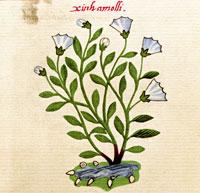 Pic 5: The 'xiuhamolli' plant, Codex Badianus folio  11