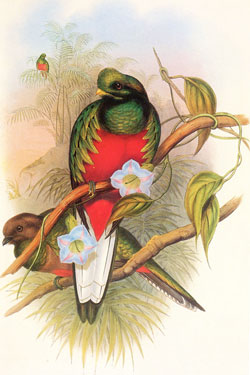 Crested quetzal, male and female; hand-coloured lithograph by J. Gould