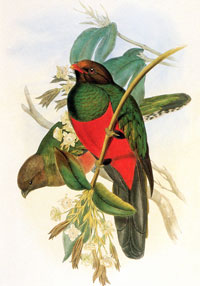 Pavonine quetzal, male and female; hand-coloured lithograph by J. Gould