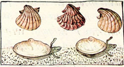 Pic 5: Pink coloured 'tapachtli' seashells, Florentine Codex Book 11