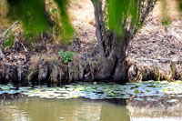Pic 2: Close-up section of a 'chinampa', Xochimilco, nr. Mexico City