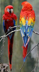 Pic 6: the Scarlet Macaw