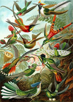 Pic 8: A colour plate illustration from Ernst Haeckel's 'Kunstformen der Natur' (1899), showing a variety of hummingbirds