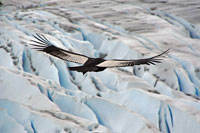 Pic 14: A male Andean condor flies over a Chilean glacier