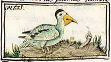 Pic 16: Pelican. Florentine Codex, Book 11,  Fig. 83