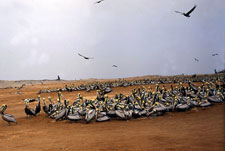 Pic 17: Pelicans on the island of Lobos de Tierra, in the sea off Peru