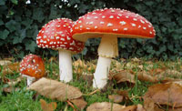 """Pic 18: Amanita muscaria, the """"thunderbolt"""" mushroom of the Quiché Mayans of Guatemala. Psychoactive, and referred to as 'ene· di:z' or """"thunder's teeth"""", it is used by Mixe curers of Oaxaca"""