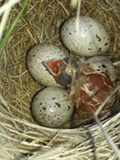 Pic 2: Chestnut collared Longspur (Canada) newly hatched nestling, still wet, begging in nest.