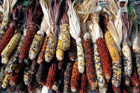 Pic 3: There are now very many different varieties of maize in existence
