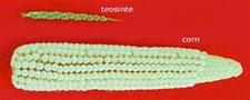 Pic 4: Ancient teosinte compared to modern corn